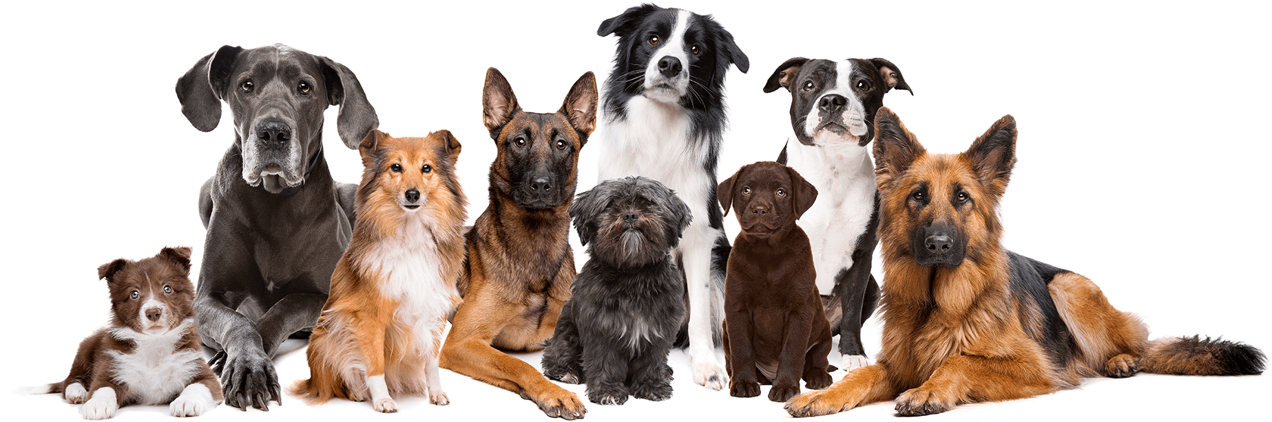 Picture of a pack of dogs of different bread calm and attentive on a white backdrop