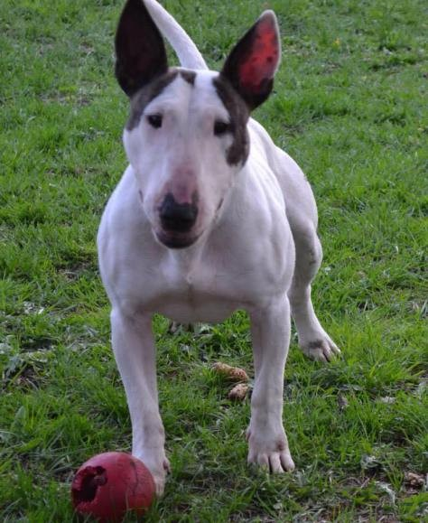 alice-the-bull-terrier